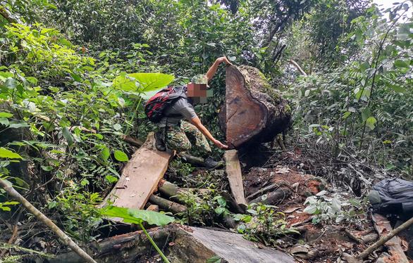 Chảy máu rừng đặc dụng Cham Chu - Cụ nghiến nghìn năm tuổi bị xẻ thịt - Ảnh 2.