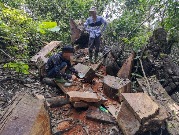 Chảy máu rừng đặc dụng Cham Chu - Cụ nghiến nghìn năm tuổi bị xẻ thịt - Ảnh 5.