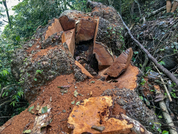 Chảy máu rừng đặc dụng Cham Chu - Cụ nghiến nghìn năm tuổi bị xẻ thịt - Ảnh 4.