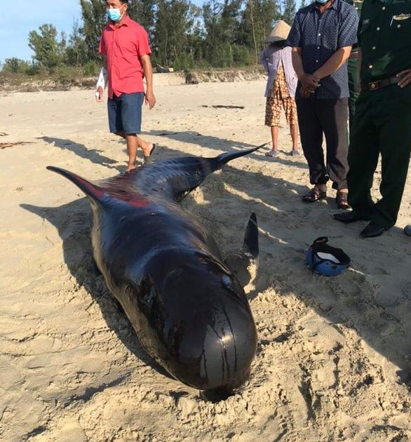Cá heo dài 3m, nặng 300kg hai lần trôi dạt vào bờ biển Quảng Nam - Ảnh 1.