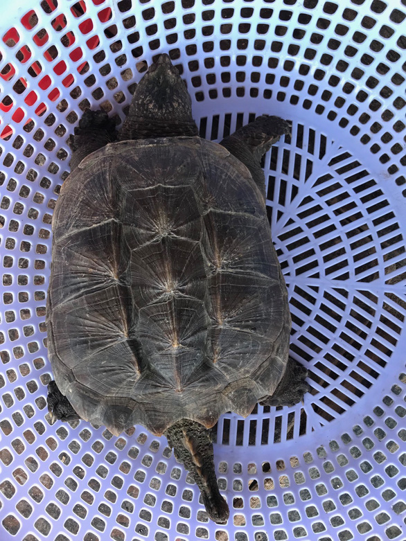 Làm chồ rớ trên đầm Thị Nại, ngư dân bất ngờ bắt được rùa cá sấu quê tận Bắc Mỹ - Ảnh 2.