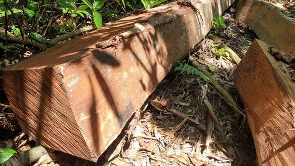 Tìm thấy bãi gỗ lâm tặc giấu giữa rừng già chờ cơ hội đưa ra ngoài - Ảnh 3.