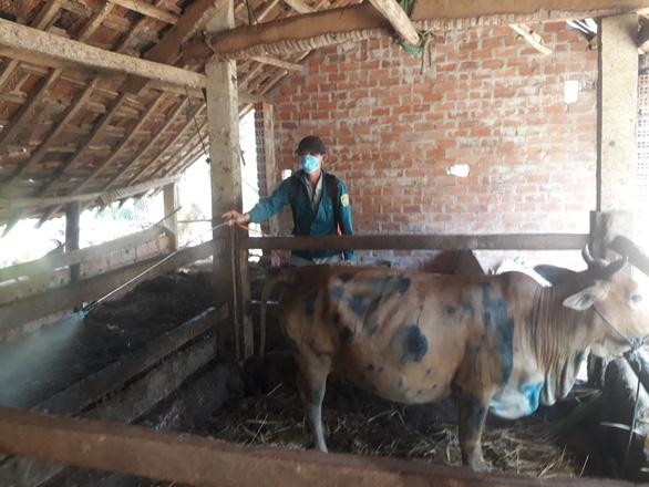 Bệnh viêm da nổi cục ở trâu bò bùng phát tại Bình Định - Ảnh 2.