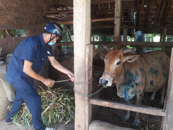 Bệnh viêm da nổi cục ở trâu bò bùng phát tại Bình Định - Ảnh 1.