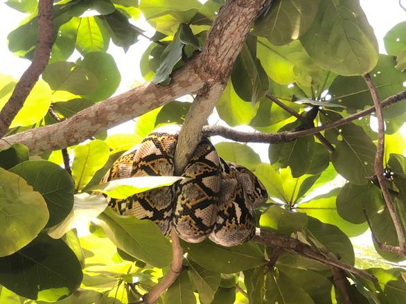 Ra sân trường hóng mát, cô giáo tá hỏa vì con trăn gấm gần 30 ký lủng lẳng trên cây - Ảnh 1.