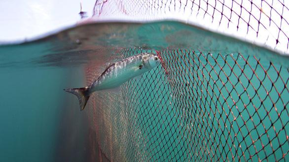 Seaspiracy - Sự thật về nghề cá bền vững - Máu của cá và của đại dương - Ảnh 5.