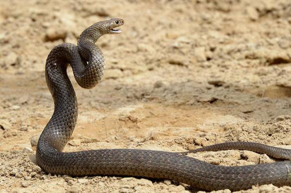 Loài rắn có tai không? - Ảnh 1.