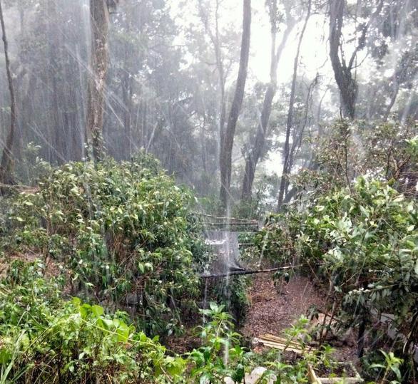 Nhiều vườn sâm Ngọc Linh tơi tả trong mưa đá gần 2 tiếng - Ảnh 1.