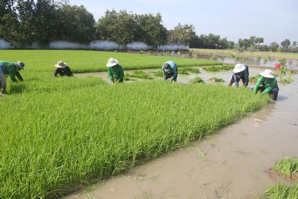 Ông Hồ Quang Cua: Muốn nhượng bản quyền gạo ST25 cho Nhà nước với giá xứng đáng - Ảnh 1.