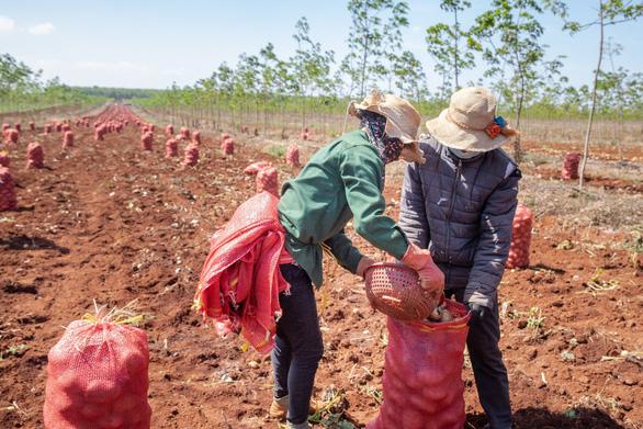 Vụ khoai tây đầu tiên của PepsiCo Việt Nam tại Gia Lai vượt ngưỡng kỳ vọng - Ảnh 4.