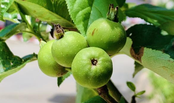Cây táo xanh tươi gắn kết tình người nơi cách ly giữa Sài Gòn - Ảnh 3.