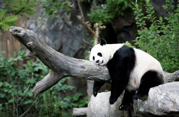 Trung Quốc báo tin vui, gấu trúc không còn là loài nguy cấp trong tự nhiên - Ảnh 1.