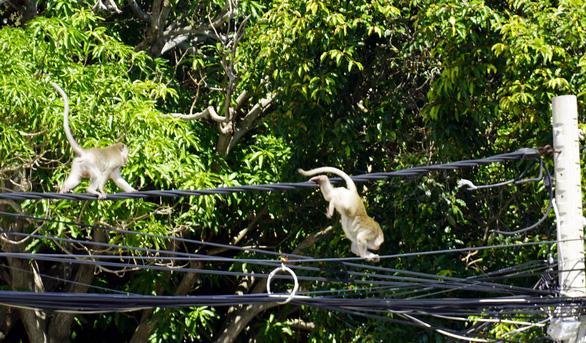 Vũng Tàu tiếp tế trái cây cho khỉ để dụ chúng về lại núi - Ảnh 3.