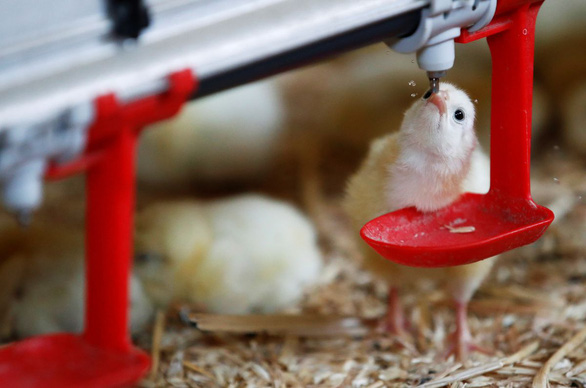 فرانسه تخریب مرغ ها را از سال 2022 ممنوع می کند - عکس 1.