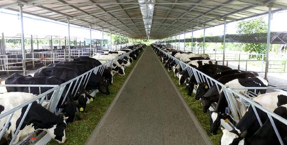 Hàng trăm tấn sữa bò, nhãn của bà con Nông trường Sông Hậu có nguy cơ phải đổ - Ảnh 1.
