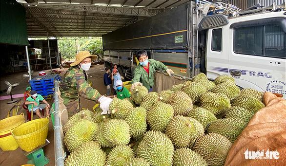Sầu riêng Đắk Lắk vào mùa thu hoạch, chính quyền lập tổ hỗ trợ nông dân tiêu thụ - Ảnh 2.