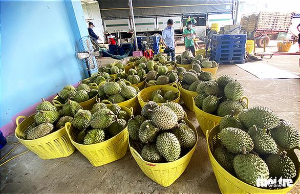 Sầu riêng Đắk Lắk vào mùa thu hoạch, chính quyền lập tổ hỗ trợ nông dân tiêu thụ - Ảnh 1.