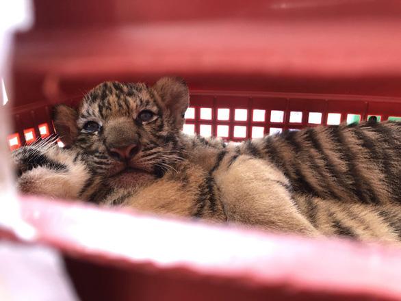 Bắt hai người chở 7 con hổ từ Hà Tĩnh qua Nghệ An bán - Ảnh 1.