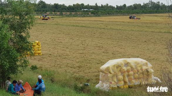Giá lúa miền Tây đã tăng, giá tôm nơi cao chỗ thấp - Ảnh 3.