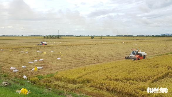 Giá lúa ở miền Tây tăng trở lại, nhưng thu mua vẫn khó khăn - Ảnh 1.