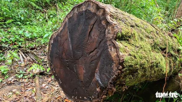 Gỗ quý bị triệt hạ trong rừng nguyên sinh ở Lâm Đồng - Ảnh 1.