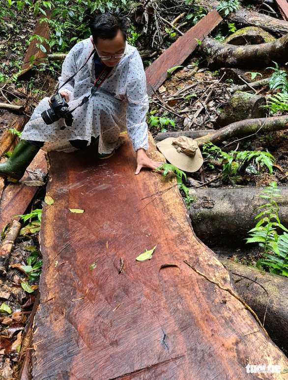 Gỗ quý bị triệt hạ trong rừng nguyên sinh ở Lâm Đồng - Ảnh 3.