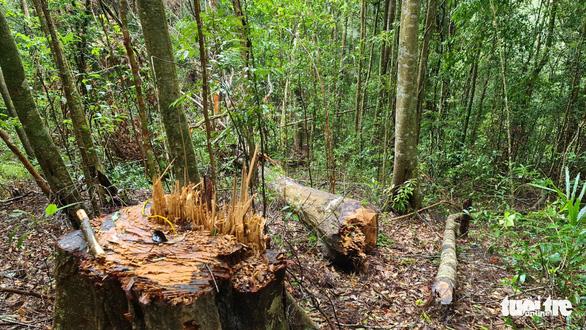 Gỗ quý bị triệt hạ trong rừng nguyên sinh ở Lâm Đồng - Ảnh 2.
