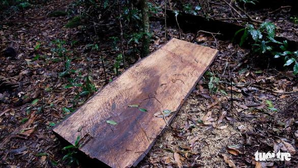 Khởi tố 14 lâm tặc triệt hạ gỗ quý rừng nguyên sinh Lâm Đồng - Ảnh 3.