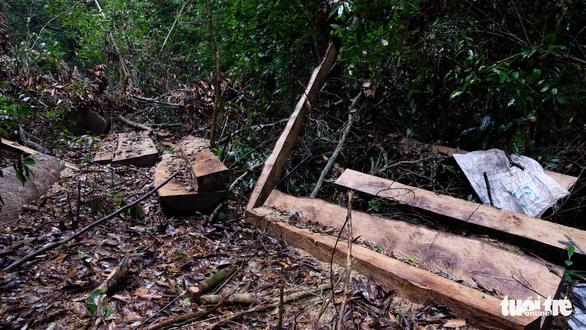 Khởi tố 14 lâm tặc triệt hạ gỗ quý rừng nguyên sinh Lâm Đồng - Ảnh 2.
