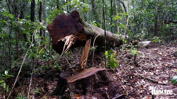 Khởi tố 14 lâm tặc triệt hạ gỗ quý rừng nguyên sinh Lâm Đồng - Ảnh 1.