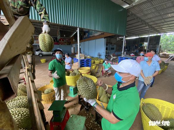 Đắk Lắk kêu gọi doanh nghiệp cấp đông sầu riêng trữ qua dịch - Ảnh 2.