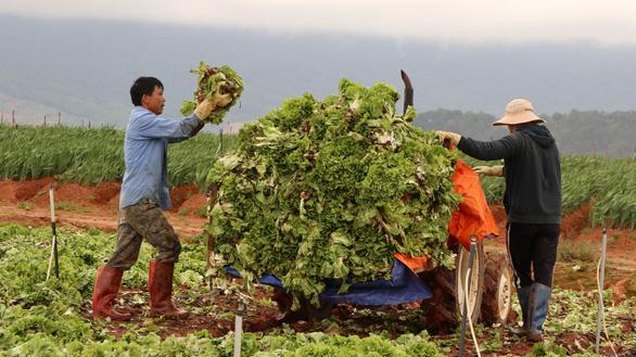 Không kịp tiêu thụ, rau hoa Đà Lạt cắt bỏ để dọn vườn - Ảnh 1.