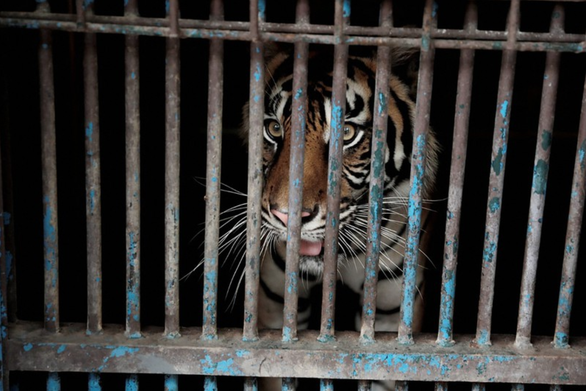 Hai con hổ Sumatra mắc COVID-19 đã khỏi bệnh - Ảnh 1.