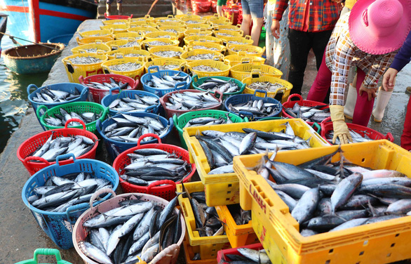 Đã mắt hình ảnh ngư dân Ninh Thuận bất ngờ trúng lớn mùa cá nam - Ảnh 4.