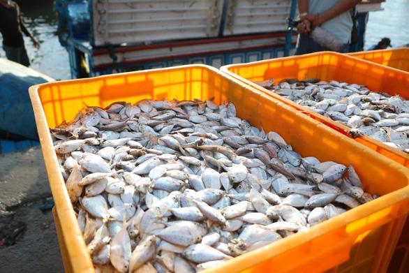 Đã mắt hình ảnh ngư dân Ninh Thuận bất ngờ trúng lớn mùa cá nam - Ảnh 6.