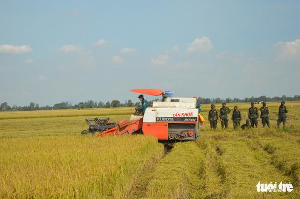 ĐBSCL còn 690.000 ha lúa hè thu chưa thu hoạch - Ảnh 1.