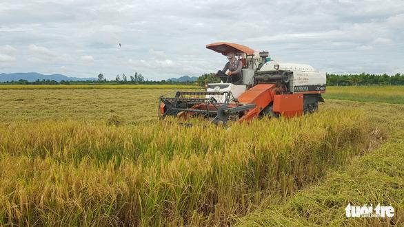 Giá lúa, nếp miền Tây nơi tăng nơi giảm - Ảnh 1.