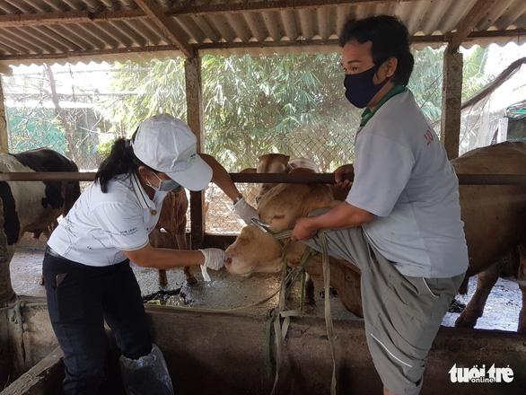 Bệnh viêm da nổi cục ở bò bùng phát tại Tiền Giang - Ảnh 3.