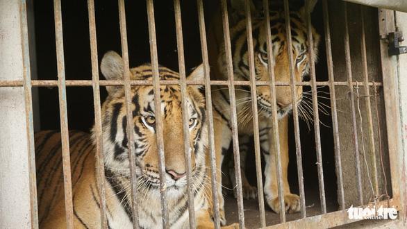 Nghệ An nóng ruột hướng xử lý 9 con hổ thu từ nhà dân, nuôi tốn 20 triệu đồng/ngày - Ảnh 1.