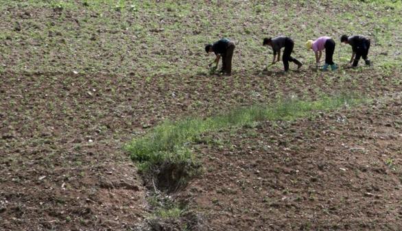 Tình báo Hàn Quốc nói Triều Tiên xả gạo dự trữ vì mất mùa - Ảnh 1.