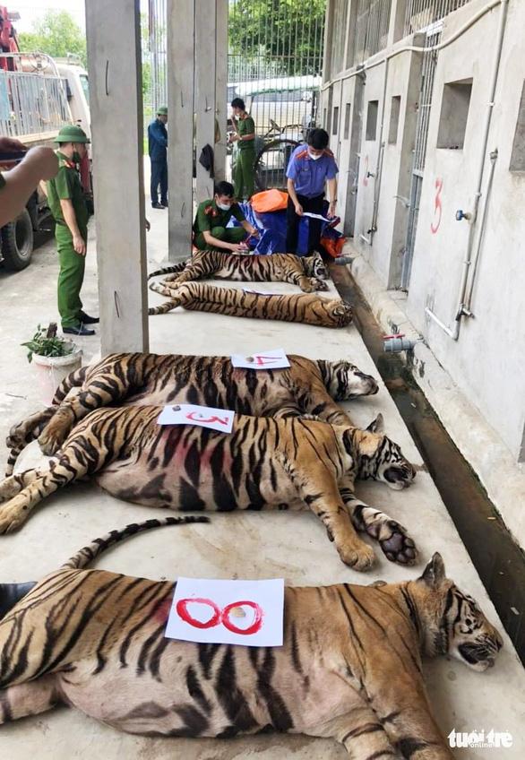 Người dân nuôi cả chục con hổ như… nuôi heo trong nhà như thế nào?