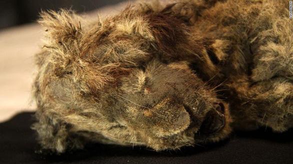 Tìm thấy xác sư tử con còn nguyên nội tạng sau 28.000 năm bị đóng băng - Ảnh 1.