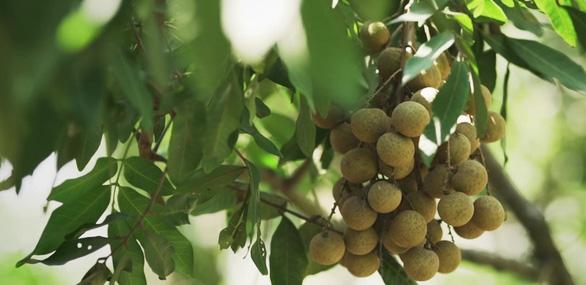 Nhãn Hưng Yên và một mùa thu hoạch thật khác - Ảnh 3.