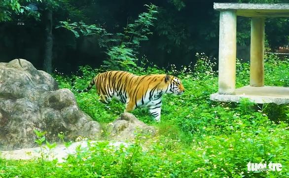 4 nguyên nhân khiến 8/17 con hổ nuôi nhốt được 'giải cứu' bị chết - Ảnh 1.