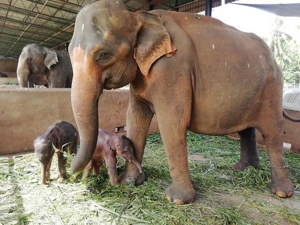 Sri Lanka: Voi sinh đôi, 80 năm mới có một lần - Ảnh 1.