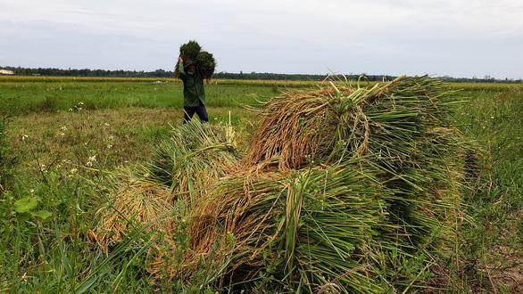 Quảng Bình test nhanh COVID-19 cho nông dân ra đồng gặt lúa, Quảng Trị gặt lúa 'non - Ảnh 1.