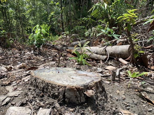 Lâm tặc làm đường, vào rừng phòng hộ đốn cây - Ảnh 3.