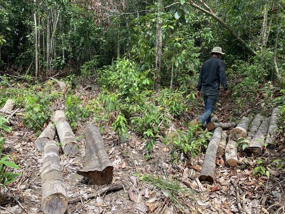 Lâm tặc làm đường, vào rừng phòng hộ đốn cây - Ảnh 2.