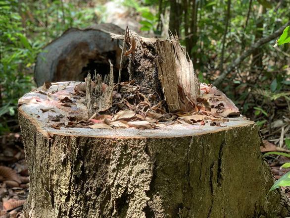 Lâm tặc làm đường, vào rừng phòng hộ đốn cây - Ảnh 4.
