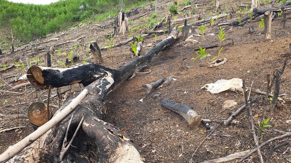 Phá rừng tại Phú Yên: Tỉnh ủy chỉ đạo công an và ủy ban kiểm tra vào cuộc - Ảnh 1.